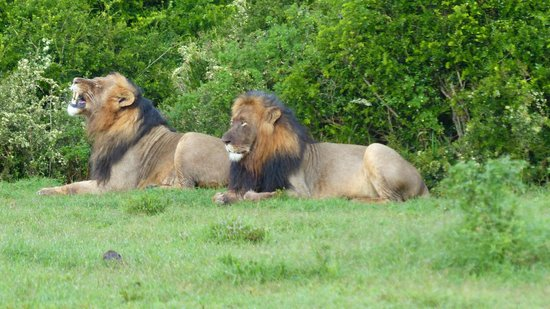 Addo Elephant National Park: Male Lions