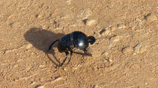 Addo Elephant National Park: Flightless Dung Beetle