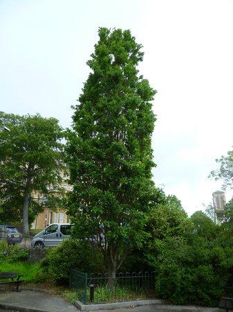 Lower Gardens : Fastigiata Oak (I think) Princess Of Wales Memorial