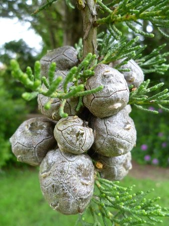 Lower Gardens : Monterey Cypress Cones