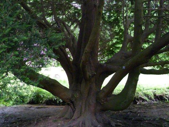 Lower Gardens : Red Cedar Trunk