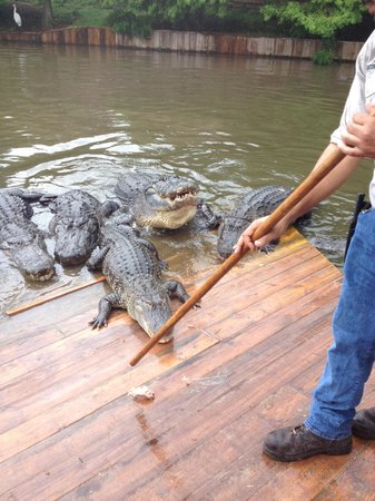 Gatorland : Feeding the gators on the island