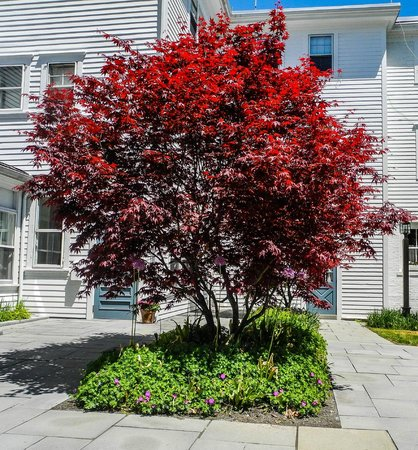The Red Lion Inn: Tree near the pool