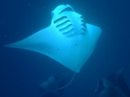Biyadhoo Island Resort: Mantas dancing for us !!