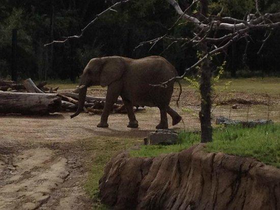 Dallas Zoo: Elephants walking