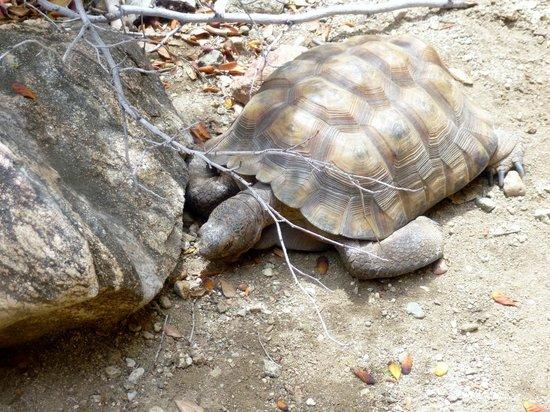 Placerita Canyon Nature Center : tortoise at the nature center