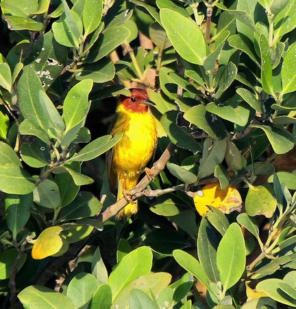South Padre Island Dolphin Research & Sea Life Nature Center : Mangrove Warbler!!!
