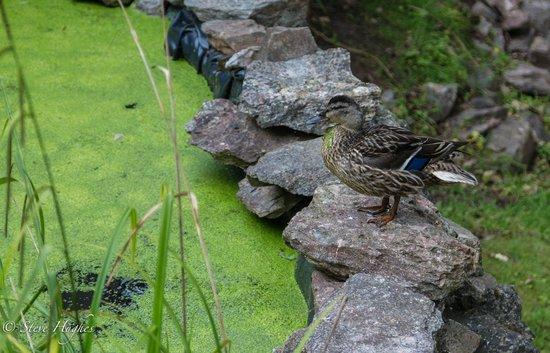 Haytor Hotel: Duck pond