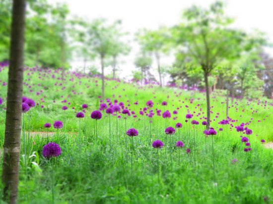 The Alnwick Garden: Alliums in the Cherry Orchard