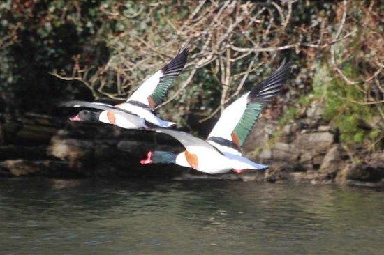 Encounter Cornwall: Shelducks in Flight
