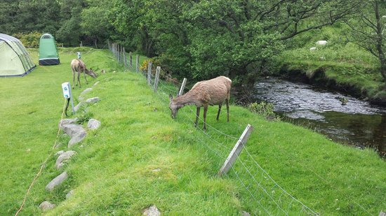 Lochranza Caravan & Camp Site: Deer on the campsite by the burn