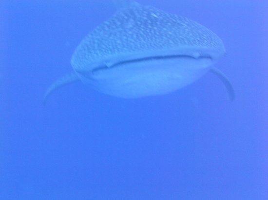 Hatchet Caye Resort : whale shark!