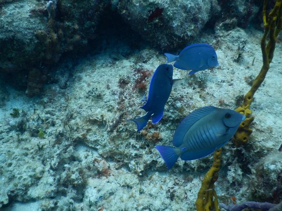 Octopus Diving: Tangs at Creole Rock