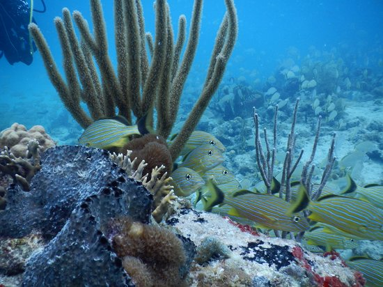 Octopus Diving: Grunts at Turtle Reef