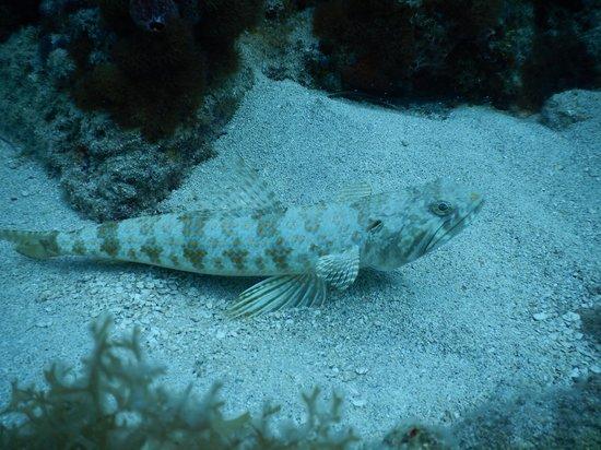 Octopus Diving: Lizard Fish