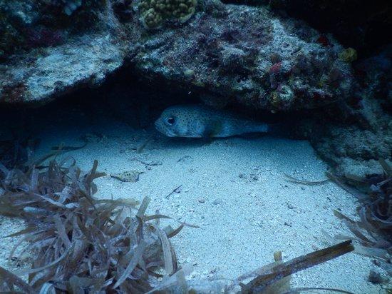 Octopus Diving: One-eyed Steve!, a puffer