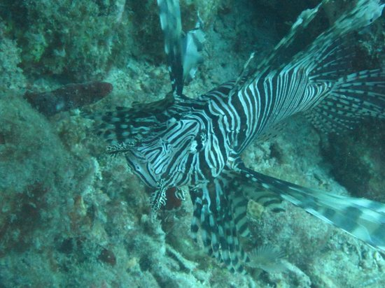 Octopus Diving: Lionfish at Creole Rock