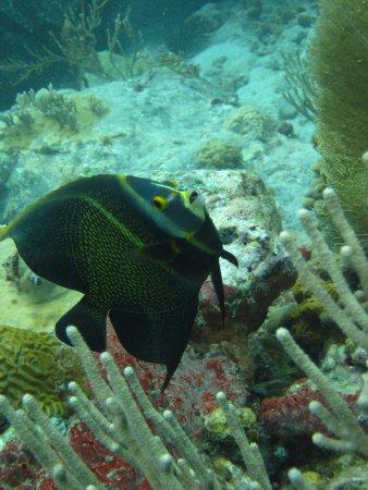 Octopus Diving: Angelfish at Turtle Reef