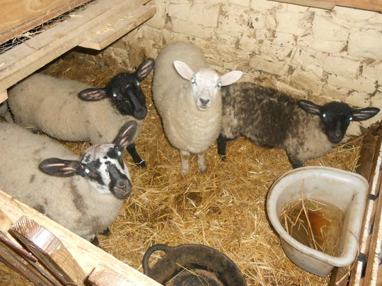 North Hayne Farm Cottages: the lambs 2014