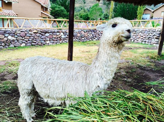 Casa Andina Private Collection Valle Sagrado: Resident Alpaca
