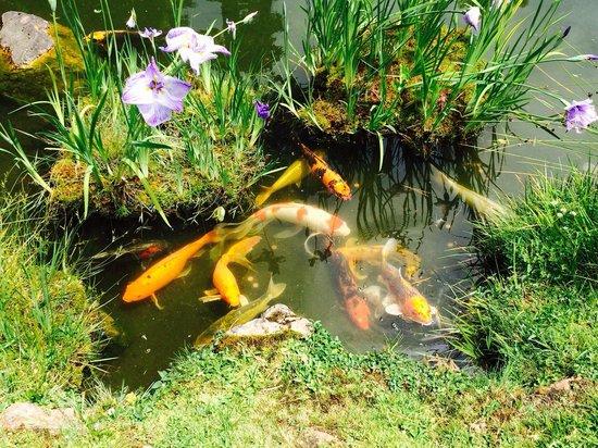 Japanese Tea Garden: Koi - carp