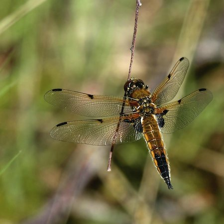 RSPB Arne: dragonflies