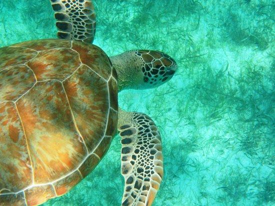 Crystal Cove Beach Resort on Sapphire Bay: Sea Turtle
