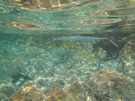 Crystal Cove Beach Resort on Sapphire Bay: Houndfish and Pinheads