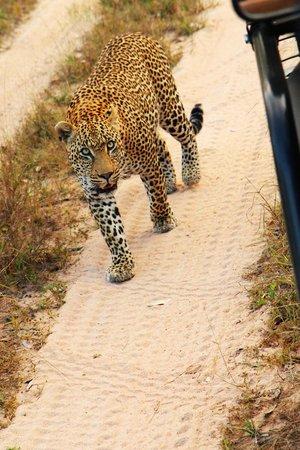 Savanna Private Game Reserve : Leopard