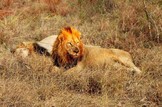Savanna Private Game Reserve : Lion