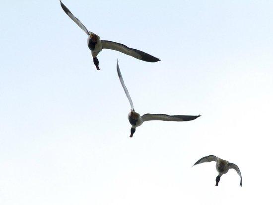 Abbotsbury Swannery: three flying ducks...