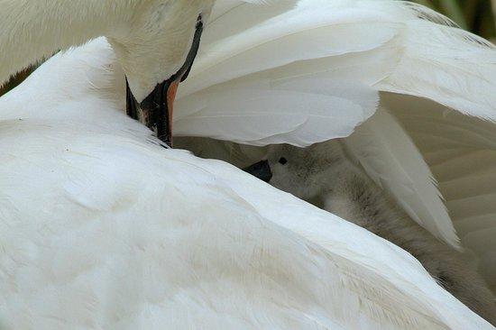 Abbotsbury Swannery: under Mum's wing