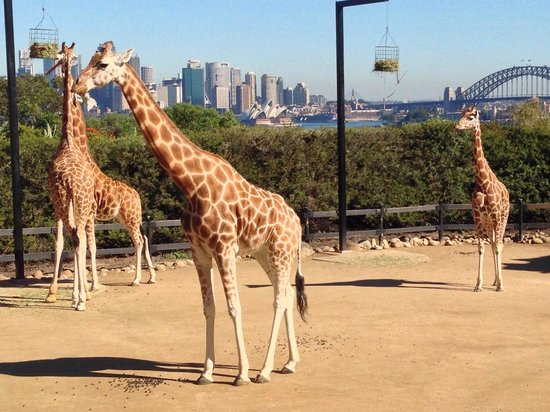 Taronga Zoo: Hard to ask for a better view!