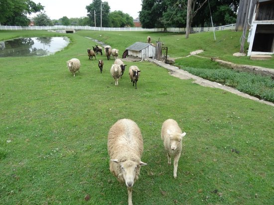 Silverstone Inn & Suites : Even the sheep on the grounds were friendly, rushing up to us!