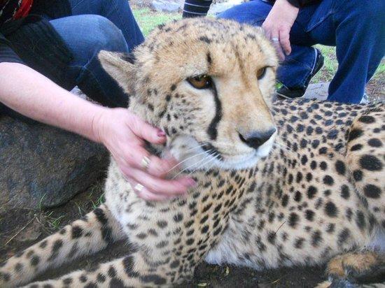 canberra zoo meet a cheetah jazz