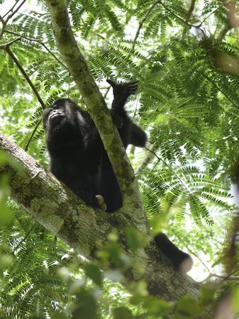 Community Baboon Sanctuary : Black Howler Monkey