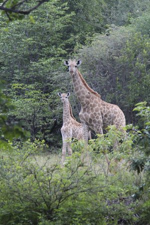 AVANI Victoria Falls Resort : Giraffes on property