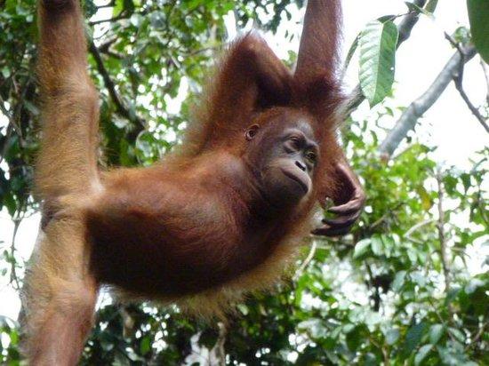 Sepilok Orangutan Sanctuary : Baby Orang-Utan