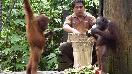 Sepilok Orangutan Sanctuary : Feeding Time.