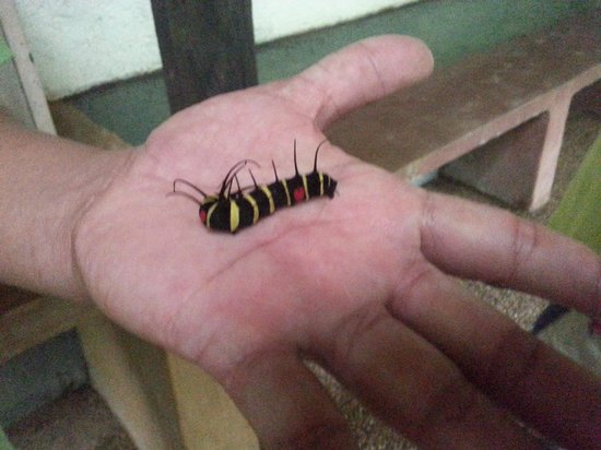 Candijay, Philippines: From  Caterpillar .. soon to be butterfly