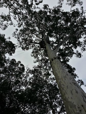 Nowra, Australien: Can you see the platform up this tree?? We were there!