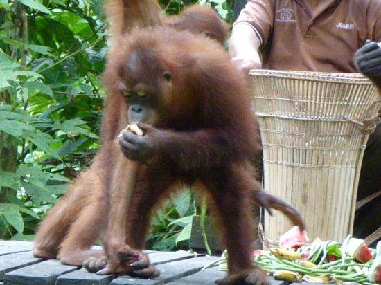 Sepilok Orangutan Sanctuary : Orang-Utan Feeding on Fruit
