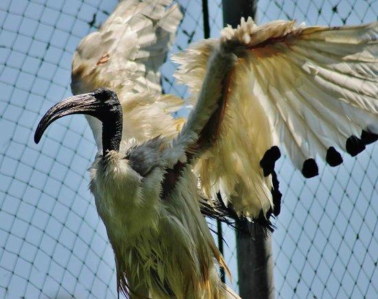 Thrigby Hall Wildlife Gardens: Oriental Ibis