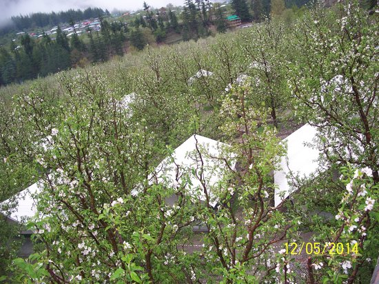 Apple Orchard Farm and Camping: AOFC Camp Site among flowering apple trees