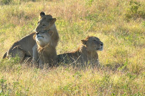 "Singita Ebony Lodge: ""affectionate"" lions - all brothers"