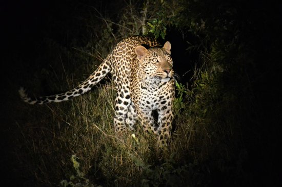 Singita Ebony Lodge: leopard during the night drive