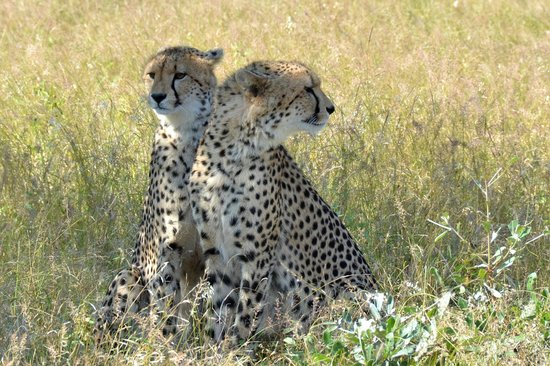 Singita Ebony Lodge: two cheetah which we tracked for two days