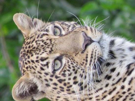 Governor's Camp: A beautiful Leopard