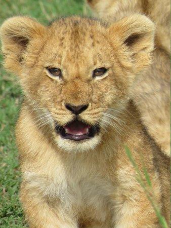 Governor's Camp : Little Lion Cub
