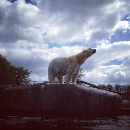 Majestic polar bears at the Copenhagen Zoo